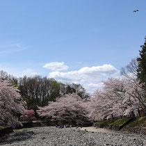 青空と満開の桜でお花見
