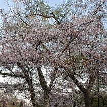 桜のトンネル(南郷公園)