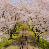 サクラトンネル(嵯峨野トロッコ列車)