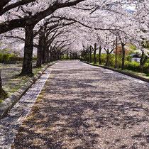 花びら模様の桜道