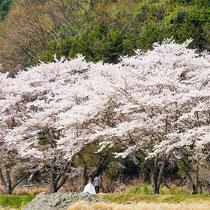桜花ロード(山王寺)