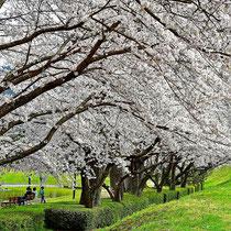 春の公園(亀岡運動公園)