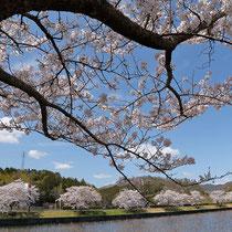 咲誇る桜並木