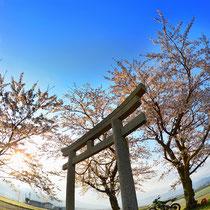 途中で見かけた桜と朝日。そして鳥居。もちろん誰にも会わずに。(若宮神社)