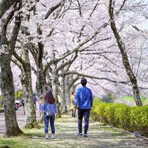 桜舞う道で