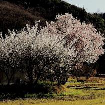 畦道に咲く(国道9号線加塚交差点付近)