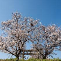 空と鳥居と鳥の巣と(若宮神社)
