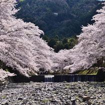 V字の満開桜