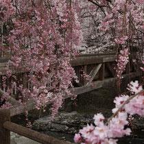 七谷川満開桜の黎明
