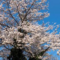 七谷川大桜