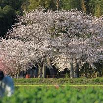 氏神様の春(若宮神社)