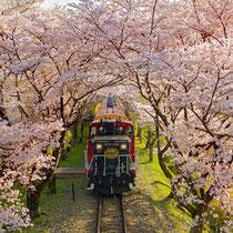 西日のトロッコと桜トンネル(嵯峨野トロッコ列車)