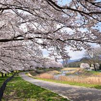 咲き誇る桜(亀岡運動公園)