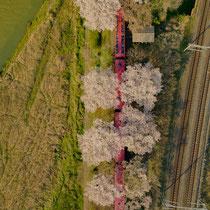 ドローンで見る桜満開のトロッコ列車(嵯峨野トロッコ列車)