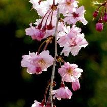 枝垂れ桜(南郷公園)