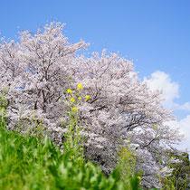 虫気分でお花見(保津川下り乗り場)