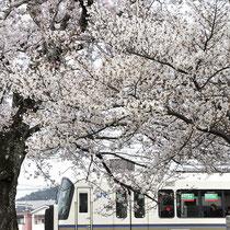 並河駅の桜(JR並河駅)