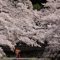 異国の桜の下で
