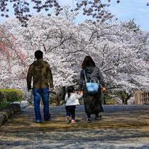 親子で観桜