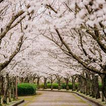 薄紅色桜坂