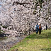 桜のトンネルを歩く