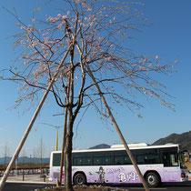 若い桜と枚方市への架け橋(JR亀岡駅北口)