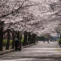 桜ロードで結婚記念撮影