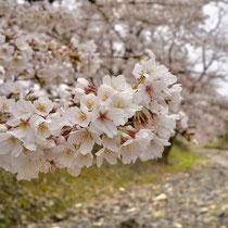 七谷川の満開桜