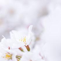 溶ける春(保津橋)