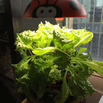 Hydroponic-grown lettuce.  Easy to grow and delicious.