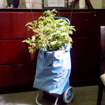 Corinna carefully transported her potato plant to the office!