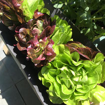 Balcony to Table Lettuce planted.