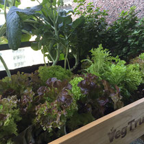 Balcony to Table lettuce.  Easy to grow and look beautiful in the planter.