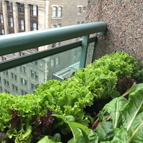 When in doubt, plant Balcony to Table Lettuce.