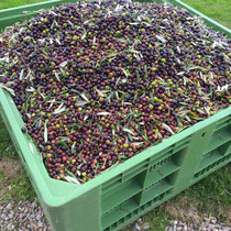 Just one of many crates harvested.  Olives must be pressed within 4 hours of harvest.