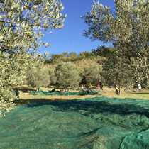 Olive harvesting time, complete with netting.