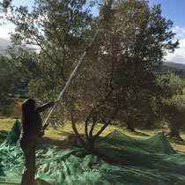Passionate olive harvester.