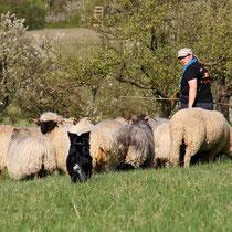 Faye an den Schafen -walk on-