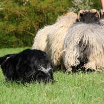 Phebbels an den Schafen -comeby-