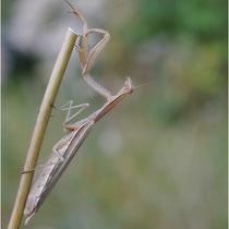 Mantis 23.08.2012 Pfynwald