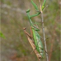 Paarung Mantis 14.09.2013