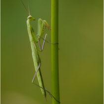 Mantis 08.07.2012