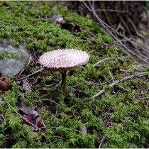 Massenweise Pilze Susten-Illhorn