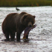 Kodiak Bear with Sockeye Salmon