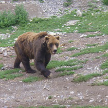 Grizzly Bär, Alaska