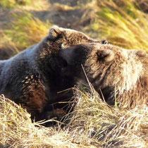 Bärenfamilie in der Lagoon