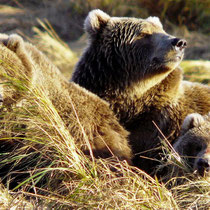 Bear Mother enjoys the sun