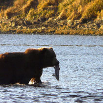 Kodiak Bear in the Karluk