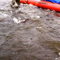 Rotlachse rammen unser Boot