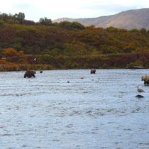 Die Kodiak Bären in Stellung